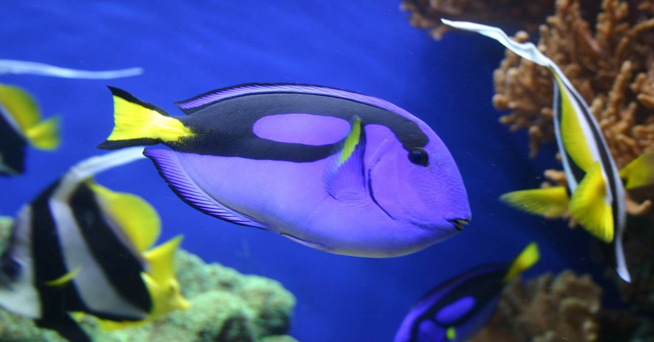 Purple - Yellow and Blue Fish Swimming
